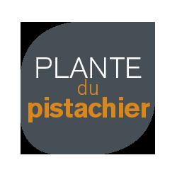 plante-du-pistachier