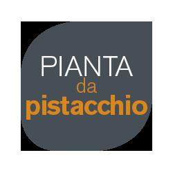 pianta-da-pistachio-01