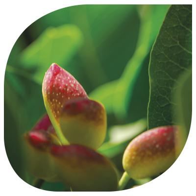 planta-de-pistacho-04